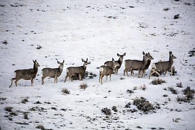 Muledeer Gather On A Snowy Hillside In Sweetwater County In Wyoming Poster