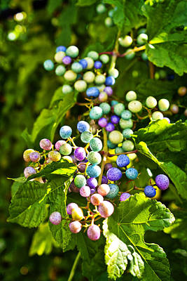 Multicolored Berry Vine Poster