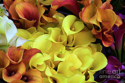 Multicolored Calla Lillies Poster