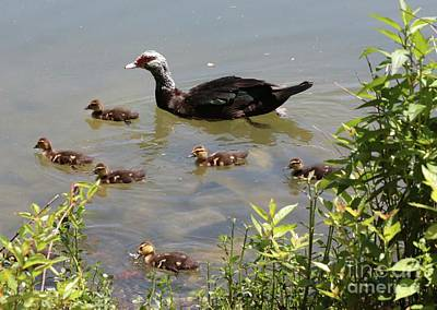 Muscovy Duck Family Poster by Carol Groenen