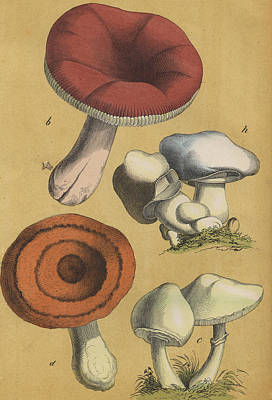 Mushrooms Vintage Drawing Poster