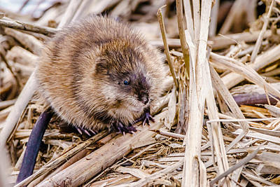 Poster featuring the photograph Muskrat Ball by Steven Santamour