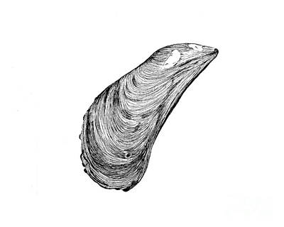 Mussel Shell Poster by Jeff Greiner