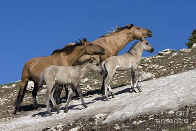 Mustangs On Snow Poster by Jean-Louis Klein & Marie-Luce Hubert
