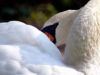 Mute Swan 2a Poster by Sharon Talson