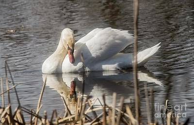 Poster featuring the photograph Mute Swan - 3 by David Bearden