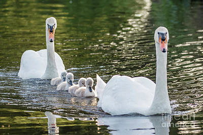 Mute Swan - Cygnus Olor -  Adult And Cute Fluffy Baby Cygnets, Swim Poster