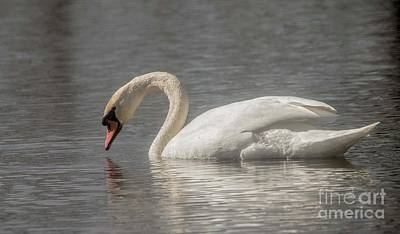 Poster featuring the photograph Mute Swan by David Bearden