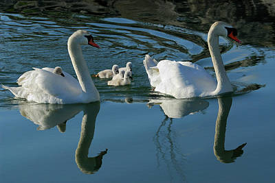 Mute Swan Family Of Five Cygnets With One Riding On The Back Of  Poster by Reimar Gaertner