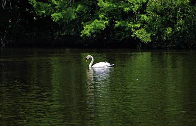 Mute Swan Poster by Sandy Keeton