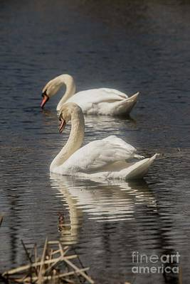 Poster featuring the photograph Mute Swans by David Bearden