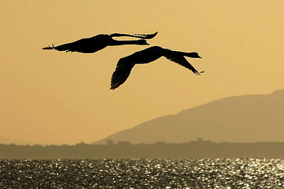 Mute Swans In Flight In Galway Ireland Poster by Pierre Leclerc Photography