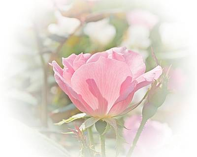 Muted Rose  Poster by Luther Fine Art