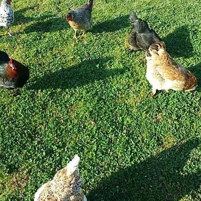 My Beautiful Chicken Ladies Billary Poster