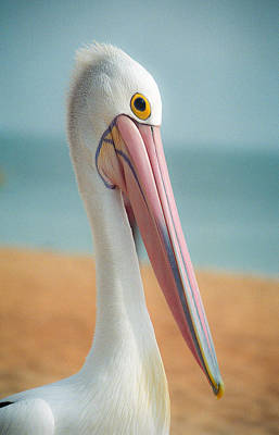 My Gentle And Majestic Pelican Friend Poster