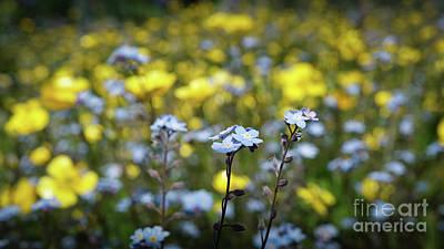 Myosotis With Yellow Flowers Poster