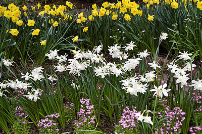 Narcissus And Daffodils In A Spring Flowerbed Poster by Louise Heusinkveld