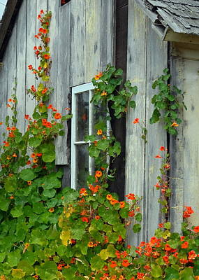 Nasturtiums On Cabin Wall Poster by Carla Parris