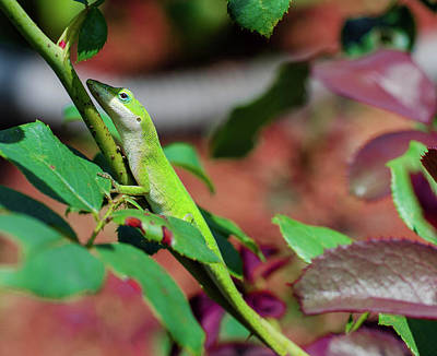 Native Anole Poster