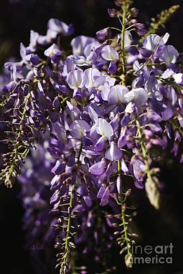 Natural Wisteria Bouquet Poster