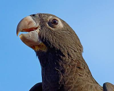 Naturally Black - Parrot Poster