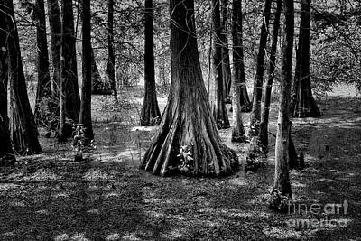 Nature Black White Cypress Trees  Poster