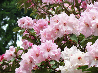 Nature Landscape Art Print Pink Rhododendrons Baslee Troutman Poster by Baslee Troutman