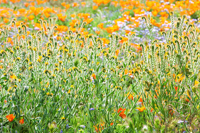 Nature's Artwork - California Wildflowers Poster