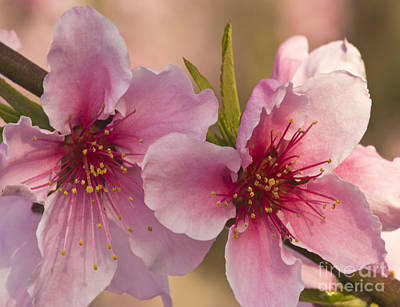 Nectarine Flowers Poster by Inga Spence