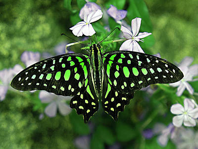 Neon --- Tailed Jay Butterfly Poster