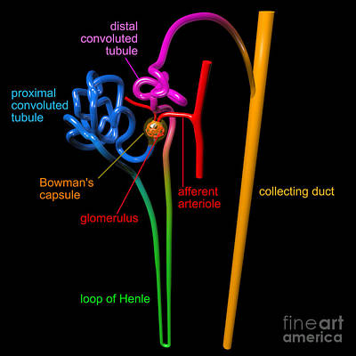 Nephron Black With Coloured Labels Poster by Russell Kightley
