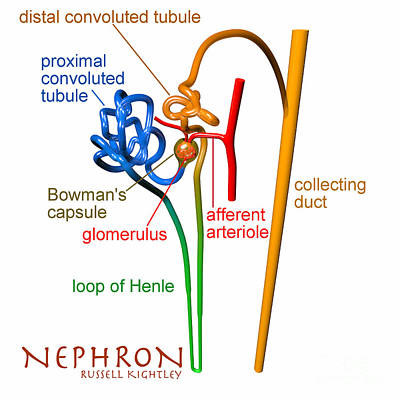 Nephron Labels #1 Poster by Russell Kightley