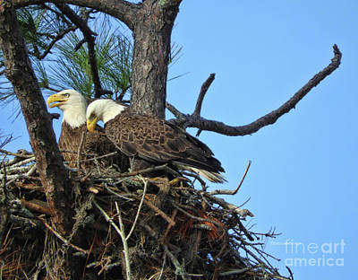 Nesting Bald Eagles 2016 Poster by Deborah Benoit