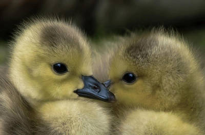 Nesting Goslings Poster by Daniel Hagerman