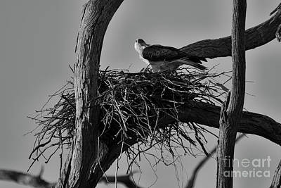 Poster featuring the photograph Nesting V2 by Douglas Barnard