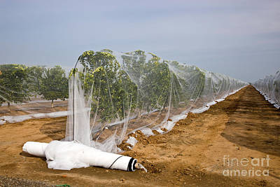 Netting Over Small Citrus Trees Poster