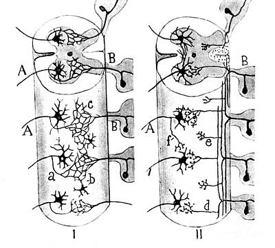 Neuroglia Cells Illustrated By Cajal Poster by Science Source