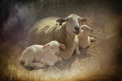 New Baby Lambs Poster by Lena Wilhite