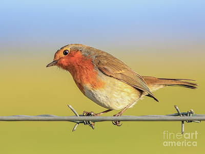 New Year Robin Poster by Roy McPeak