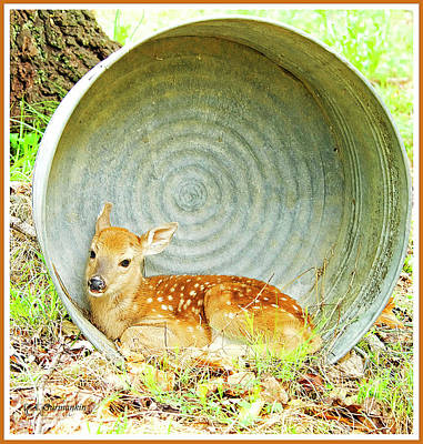 Newborn Fawn Finds Shelter In An Old Washtub Poster by A Gurmankin