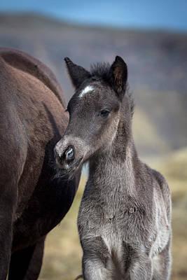 Newborn Foal, Iceland, Icelandic Horse Poster