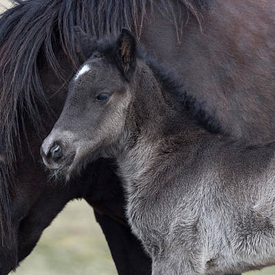 Newborn Foal With Horse, Iceland Poster