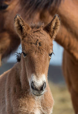 Newborn Foal With Mare Poster by Panoramic Images