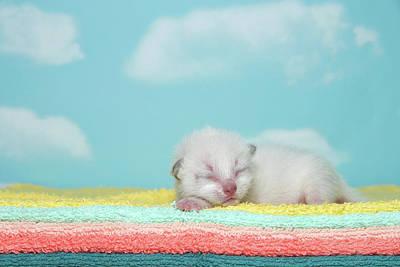 Newborn Siamese Kitten Sleeping Poster by Sheila Fitzgerald