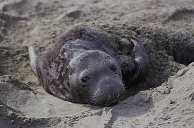 Newborn Northern Elephant Seal Pup Poster