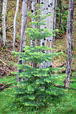 Poster featuring the photograph Next Years Christmas Tree by Donna Greene