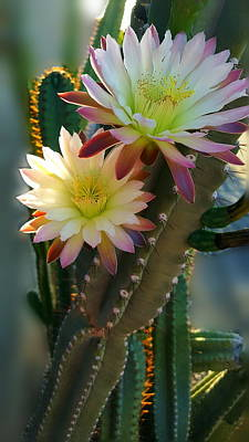 Poster featuring the photograph Night-blooming Cereus 4 by Marilyn Smith