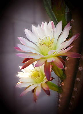 Poster featuring the photograph Night Blooming Cereus by Marilyn Smith