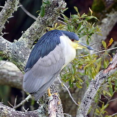 Night Heron Poster by Carla Parris