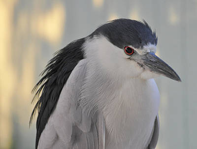 Night Heron  Poster by Rose  Hill